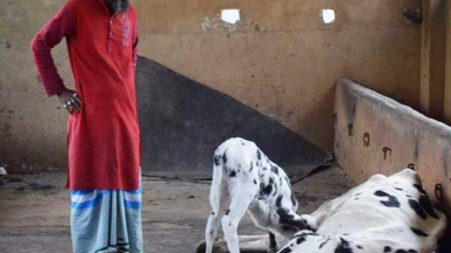 বাঞ্ছারামপুরে বিষ দিয়ে ১৩ গরু মারলো দুর্বৃত্তরা